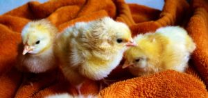 cute-animals-easter-chicken-medium